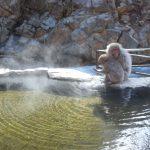 【長野】あれ?お猿が全く温泉に入ってない!?地獄谷野猿公苑の温泉猿はいつでも入浴しているわけじゃないんだよ〜
