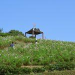 【2018年】神戸総合運動公園「コスモスの丘」の見ごろはいつ?気になる開花状況は?【兵庫】