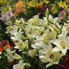 【大阪】舞洲ゆり園の見ごろはいつ?2018年の開花状況と開園期間について