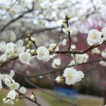 桜の花と梅の花と桃の花の違いって知ってる?見分け方はこれだ!