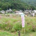 【長野】佐久高原コスモス祭りとコスモス街道の見ごろはいつ?2017年の開花状況と開園期間について
