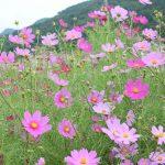 【長野】佐久高原のコスモス街道で一足早く秋満開の景色を満喫してきました