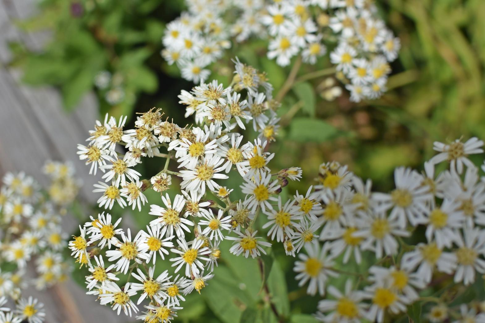 霧ヶ峰高原八島湿原:花