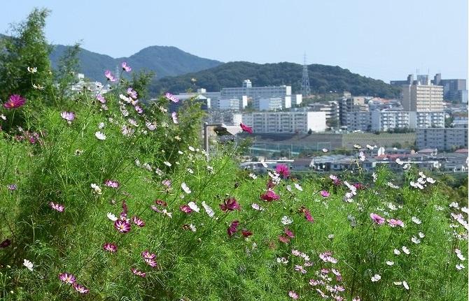 【兵庫】神戸総合運動公園「コスモスの丘」の見ごろはいつ?2017年の気になる開花状況は?