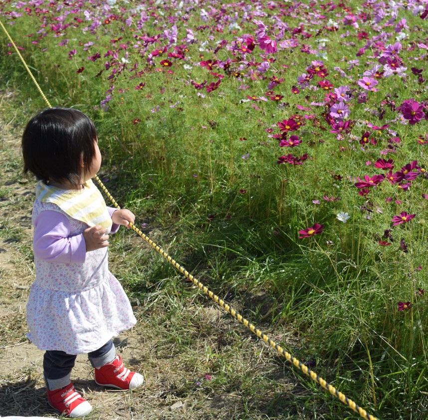 【2018年】武庫川髭の渡しコスモス園の見頃と開花状況について【兵庫県尼崎市】