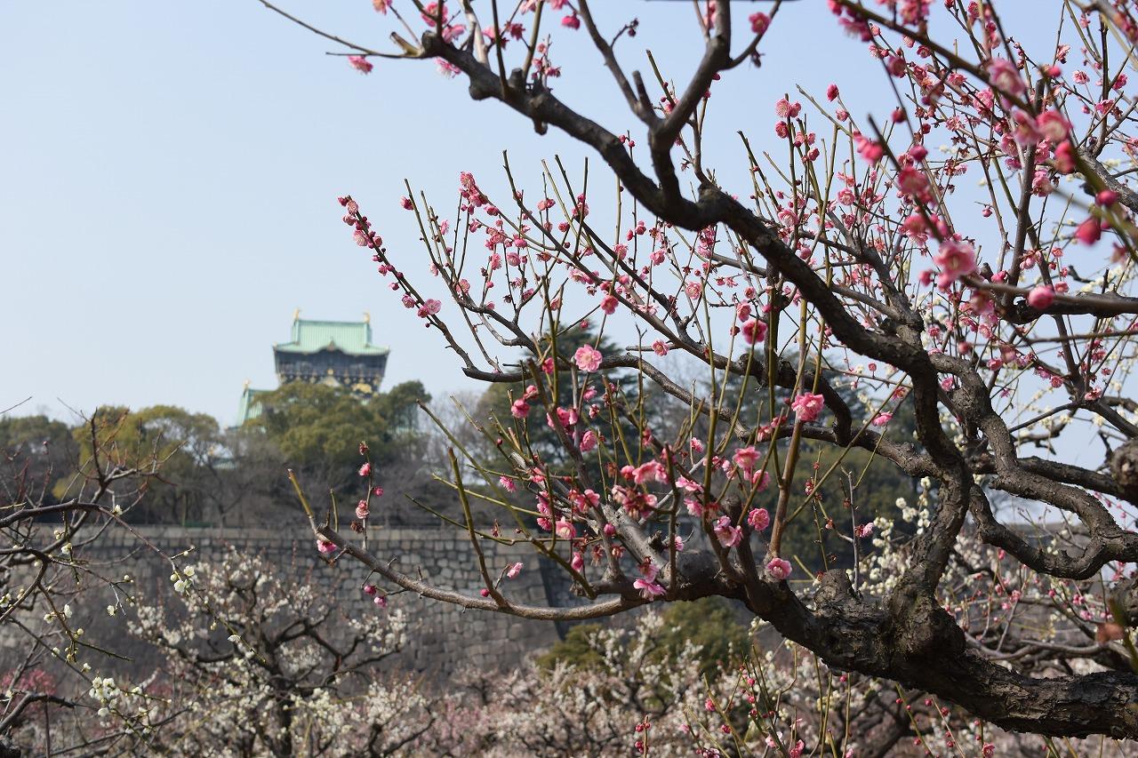 大阪城公園の梅林の見ごろはいつ?2018年の気になる開花情報は?