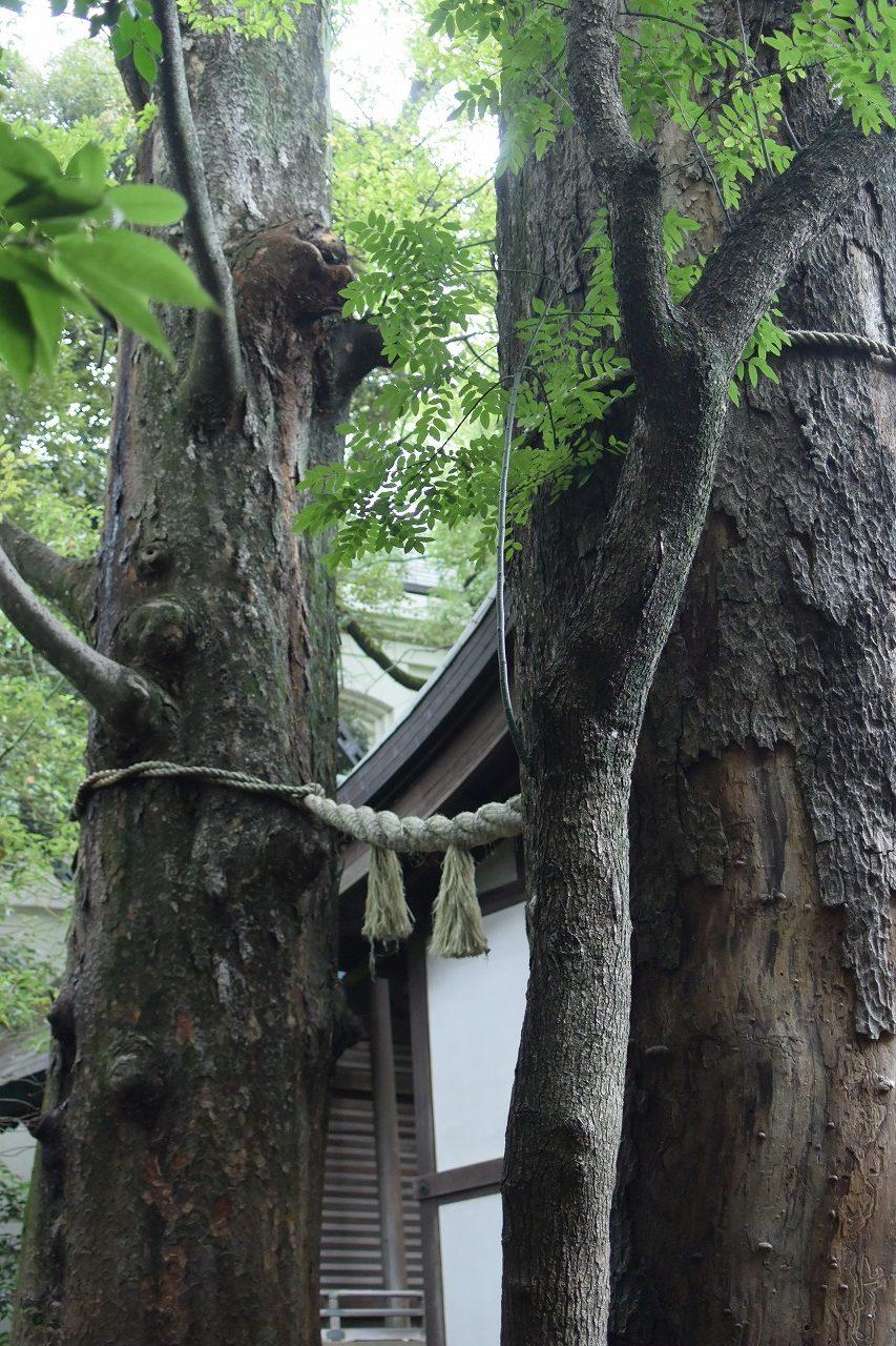 川越氷川神社の御神木