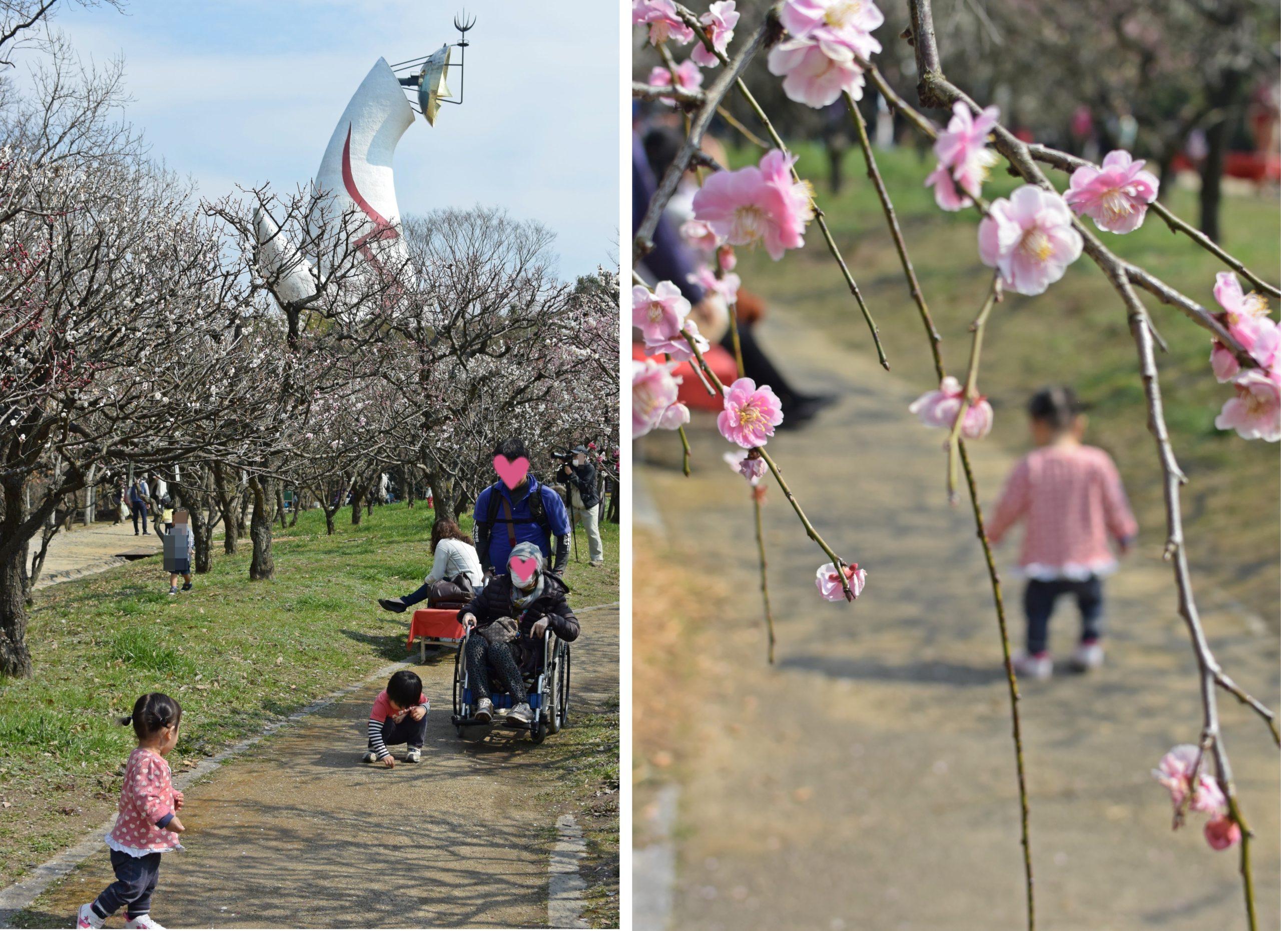 大阪万博記念公園の見ごろはいつ?気になる最新開花情報