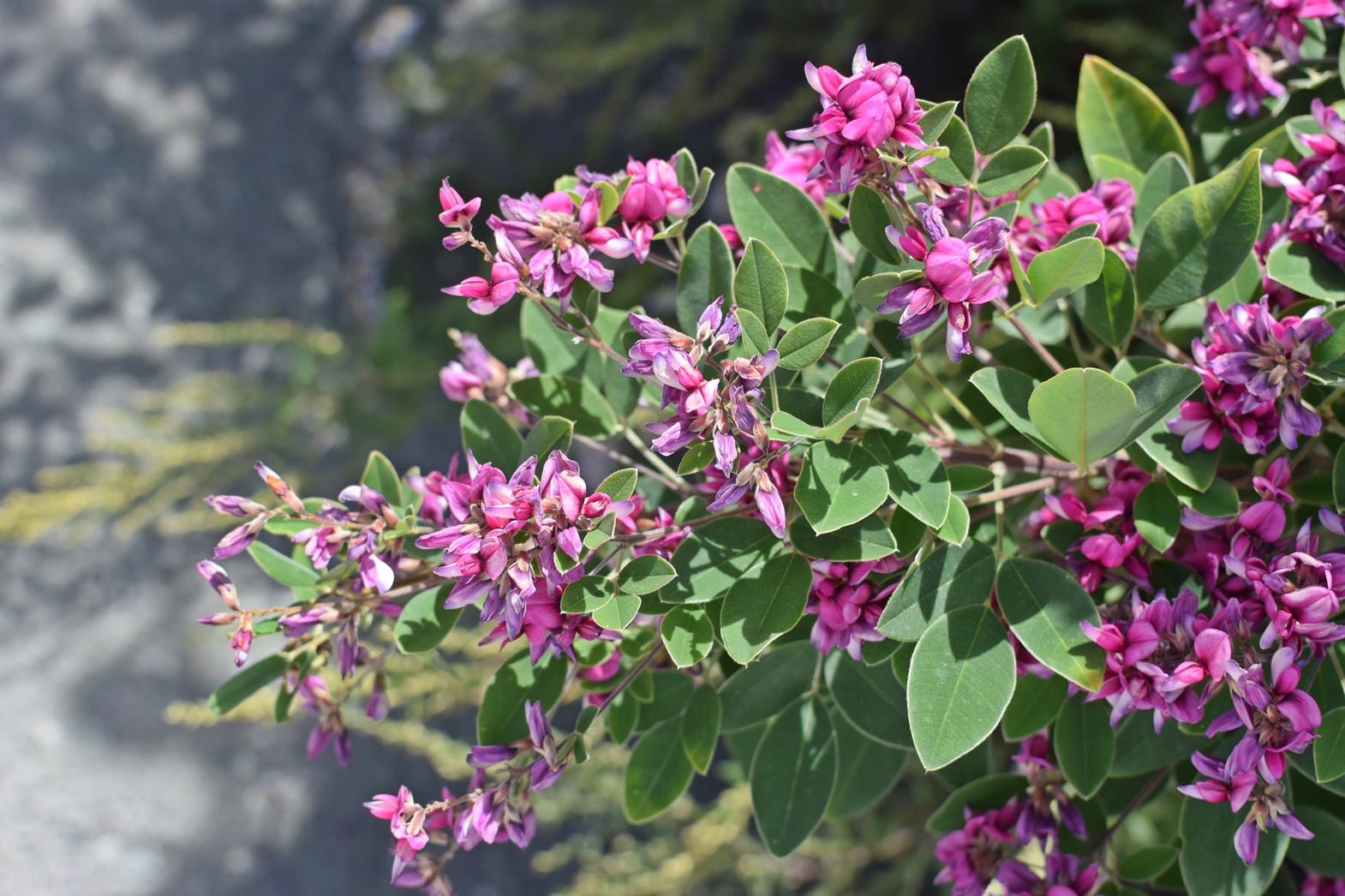 霧ヶ峰高原八島湿原:トレッキング終了ポジションに咲いていた花