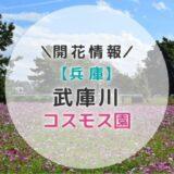 【2019年】関西コスモスの名所!武庫川コスモス園の見頃と開花状況|秋のおすすめお出かけスポット