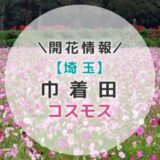 【2021年】埼玉県コスモスの名所!巾着田のコスモス|秋のおすすめお出かけスポット