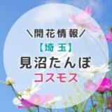 【2021年】埼玉県コスモスの名所!見沼たんぼのコスモス|秋のおすすめお出かけスポット