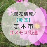 【2021年】埼玉県コスモスの名所!志木市「コスモス街道」|秋のおすすめお出かけスポット