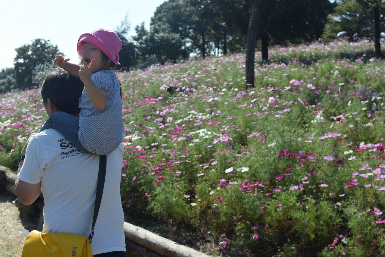 秋のお出かけにおすすめな昭和記念公園のコスモス