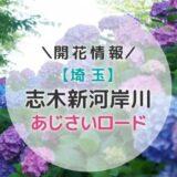 【2021年】関東アジサイの名所!志木新河岸川あじさいロード|初夏のおすすめお出かけスポット